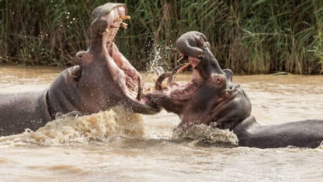 Do hippos eat people?