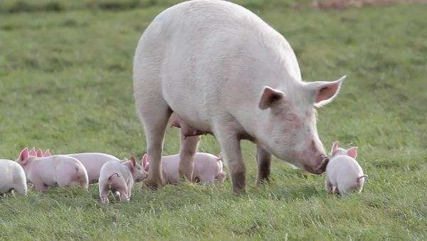 mother sow with piglets