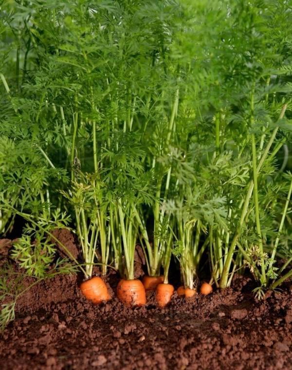 Organic Carrots Growing - Stock Dissolve