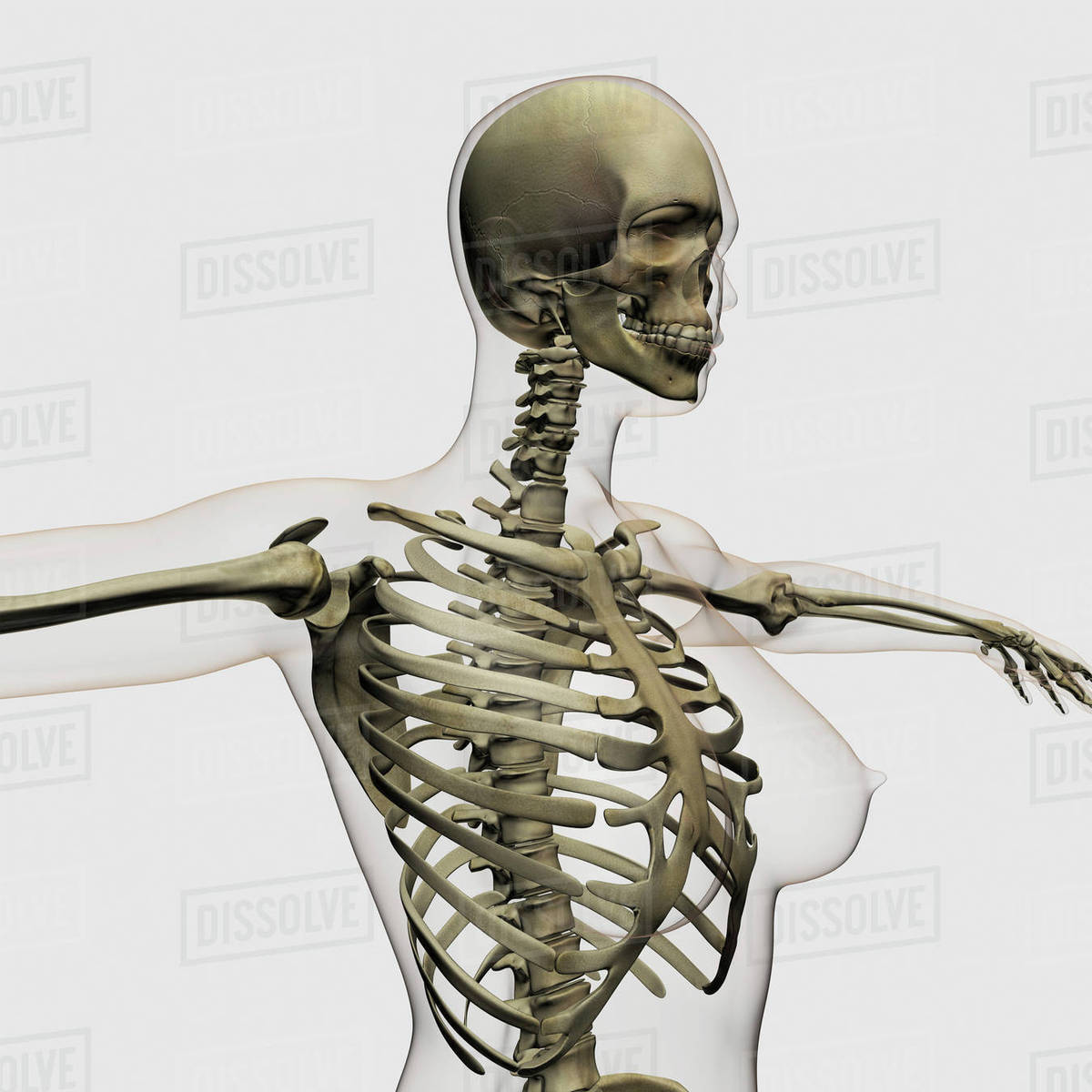 hight resolution of three dimensional view of female rib cage and skeletal system