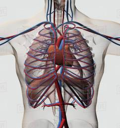 medical illustration of male chest with arteries veins heart and rib cage  [ 1200 x 1200 Pixel ]