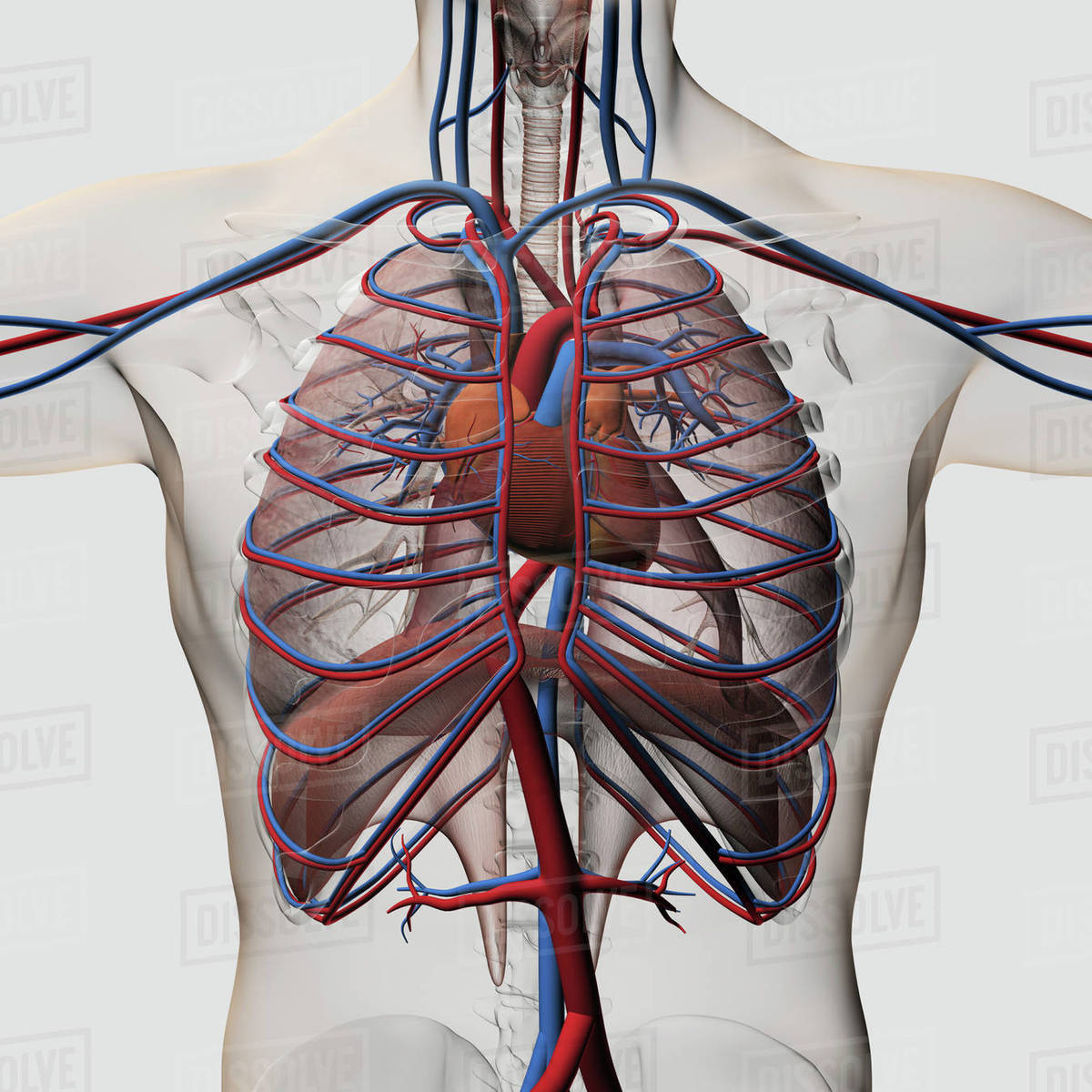 hight resolution of medical illustration of male chest with arteries veins heart and rib cage