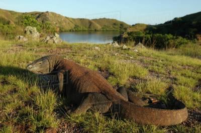 Komodo dragon (Varanus komodoensis) in habitat with boat ...