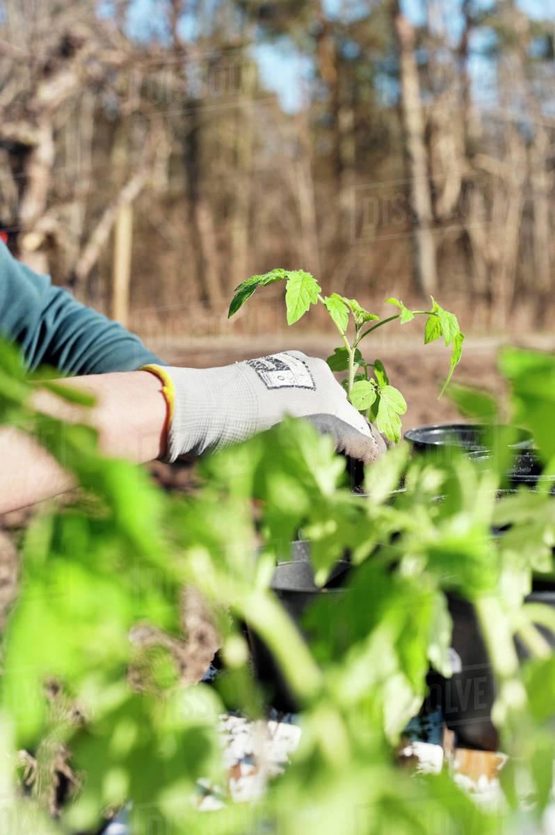 person planting seedlings in
