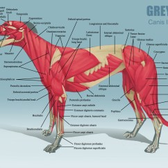 Cat Muscle Anatomy Diagram Electric Light Wiring Uk Alicia Poon - Animal Charts