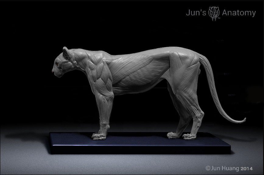 ArtStation Cougar Anatomy Model Jun Huang