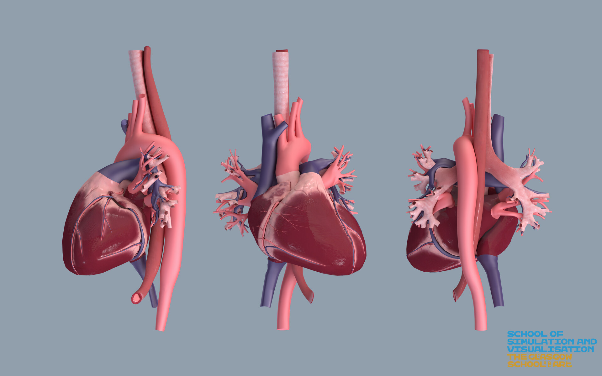 hight resolution of heart and vascular system definative human project