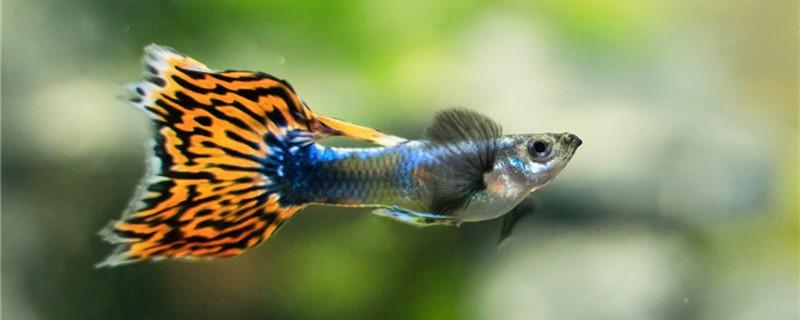 孔雀魚吃什么,怎么制作孔雀魚飼料 - 魚百科