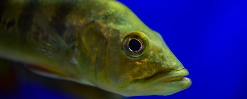 觀賞魚混養魚最佳搭配有哪些 - 魚百科