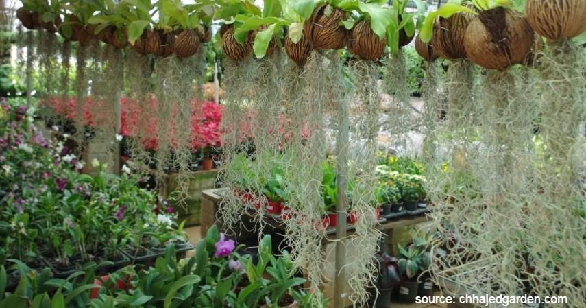 Jenggot Putih Spanish Moss - 15 Tanaman Gantung yang Bikin Rumah jadi Cantik dan Estetik