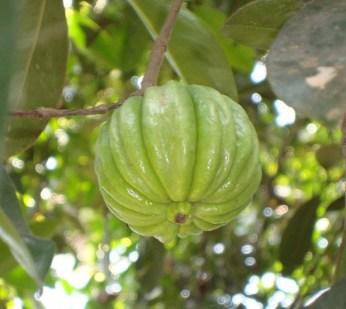 Garcinia fruto