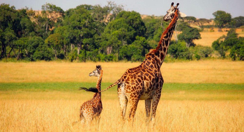 Quand une mère girafe protège sans peur son girafon contre une bande de guépards