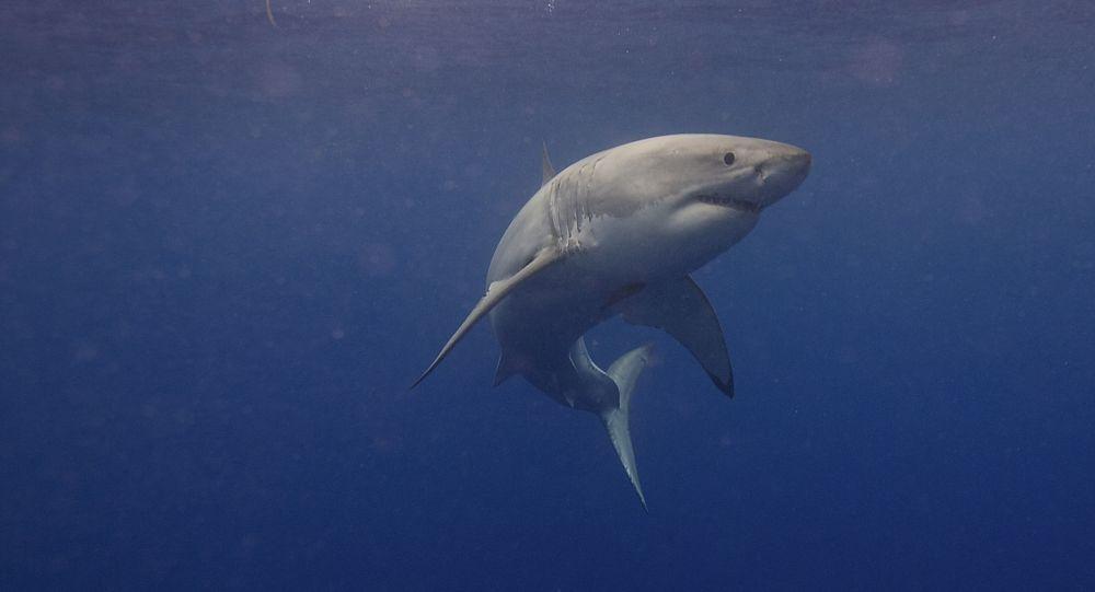 Un grand requin blanc pris en chasse par des proies potentielles – vidéo