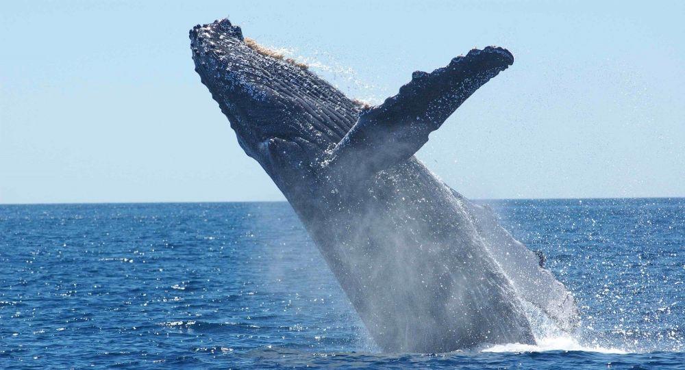Une Australienne grièvement blessée après que deux baleines à bosse l'ont «prise en tenaille»