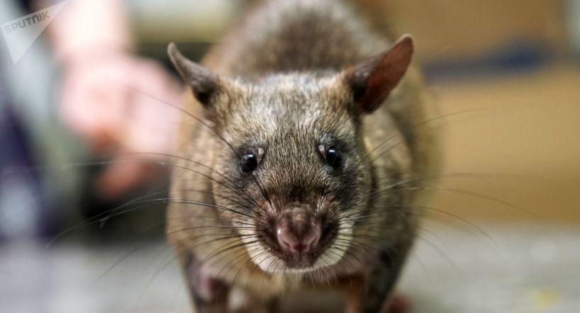 La maladie du rat inquiète à Paris, à quatre ans des Jeux Olympiques