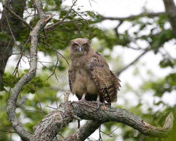 Ketupa blakistoni is a Latin name for the Blakiston's fish owl