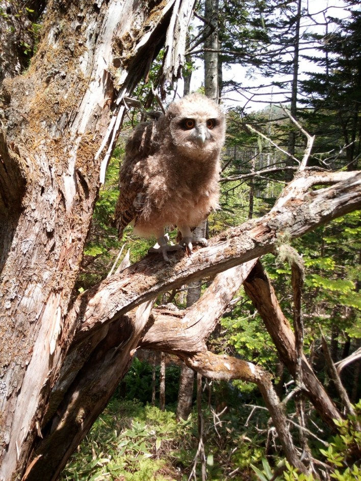 Some 200-400 out of 3,700 owls remaining in the wild inhabit the Primorye territory of the Russian Far East