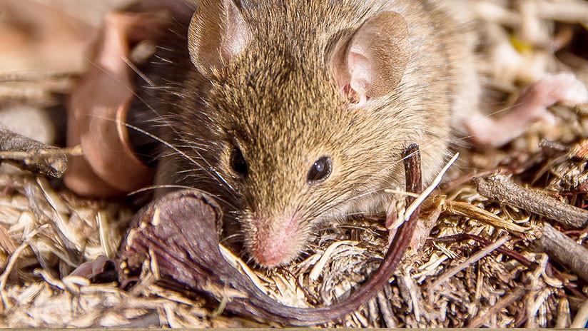 Brote de hantavirus en Argentina: Confirman el primer caso en ...