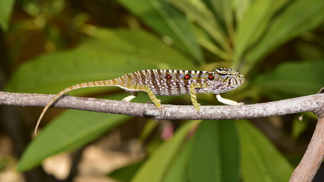 Reaparece en el lugar más inesperado una especie de camaleón de Madagascar perdida durante más de 100 años