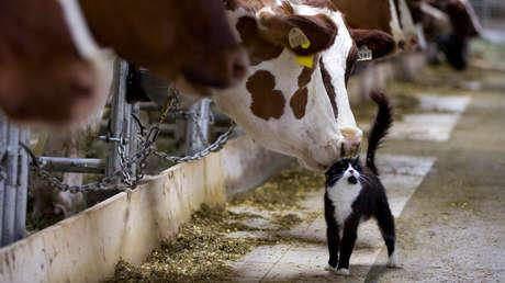 Explican por qué ratas y pollos no contraen el covid-19, pero gatos y el ganado sí