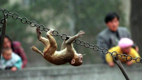5ca46d8dfc7e9377168b45f6 Chinese, US researchers create monkeys with human-like brain development