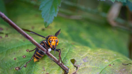 An Asian giant hornet, seen in a handout photo © Washington State DEpartment of Agriculture / Karla Salp