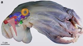 Biolodzy morscy identyfikują nowe gatunki ośmiornic Dumbo, które żyją 7000 m poniżej poziomu morza (ZDJĘCIA)