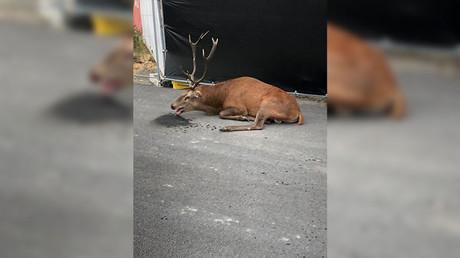 Un cerf se réfugie dans le centre-ville de Compiègne après une chasse à courre (IMAGES)