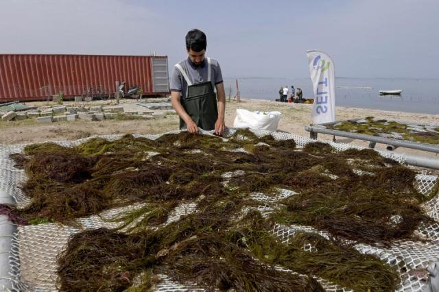 A worker processes drying harvested red seaweed (algae) in the Menzel Jemil lagoon in Tunisia's northern Bizerte region on May 27, 2021.