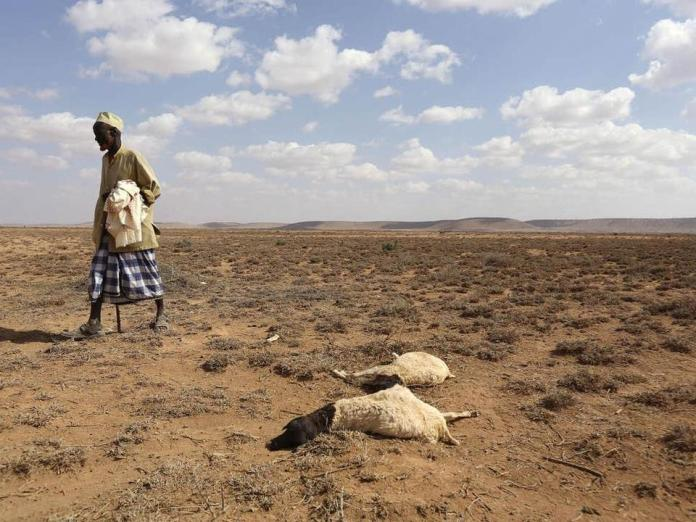 A man walks past the carcass of sheep that died during the El Nino-related drought in Marodijeex, Somaliland.