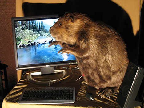 Beaver stuffed with computer