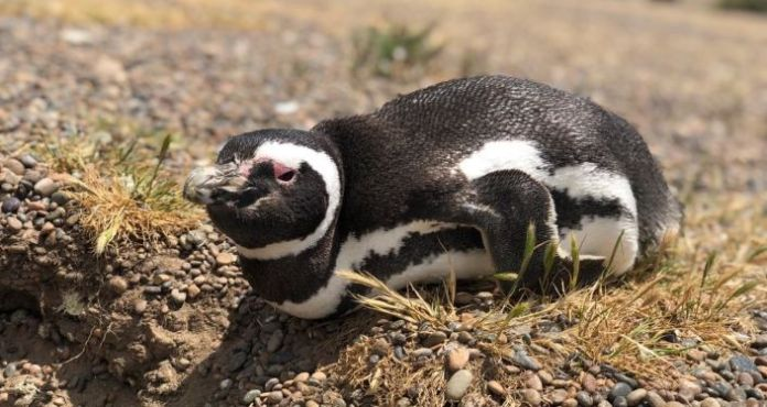 A Magellanic penguin near its nest in Chubut, Argentina
