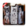 download Husky Wallpapers apk