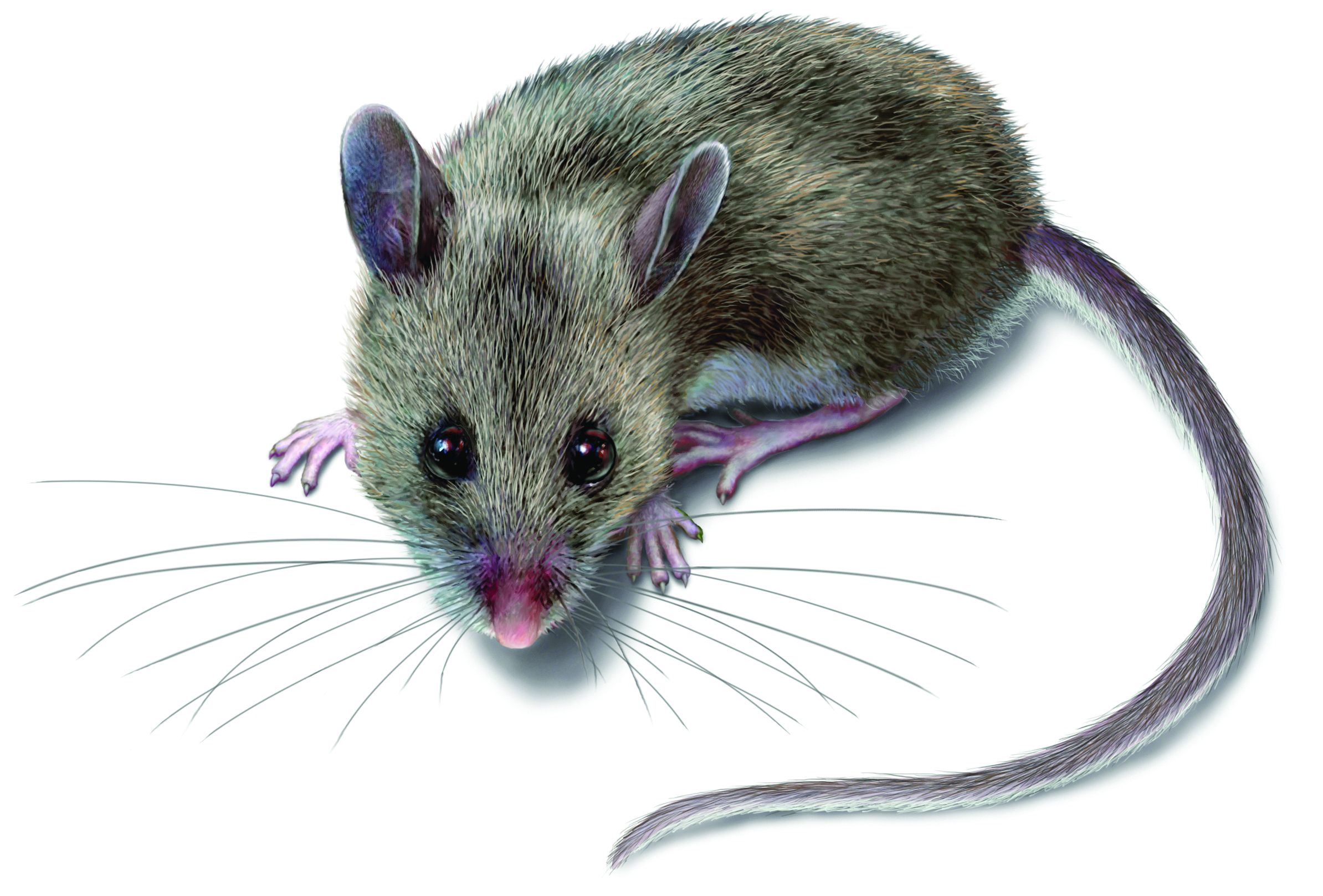 Mouse Disease Symptoms & More: What Diseases Do Mice Carry?