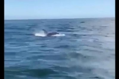 Watch Aggressive Orca Attacks Boat Steals Anchor