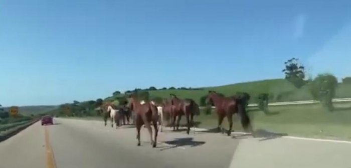 Escaped horses run loose on South African highway