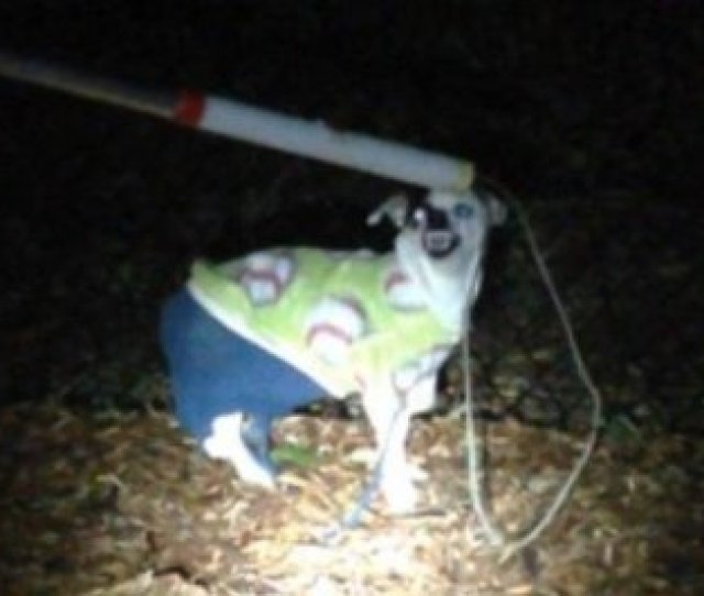 Look Very Angry Chihuahua Found Wearing Sweater Pants In Washington State Upi Com