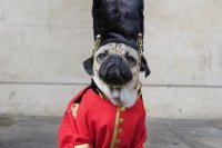 Costume-wearing dog 'Doug the Pug' tours England - UPI.com