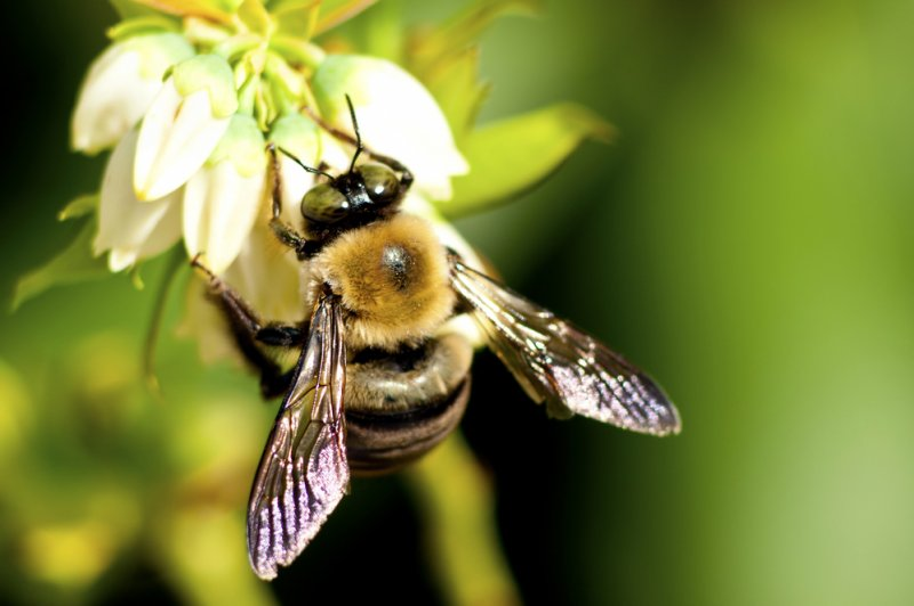 Honey bees have surprisingly good eyesight  UPIcom