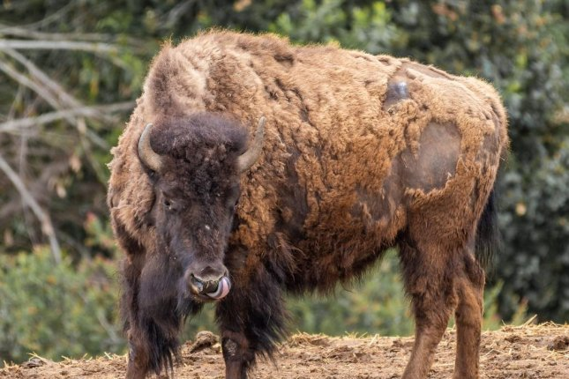 heritage yellowstone park bison
