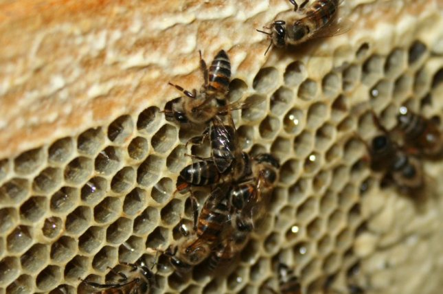 Researchers find honey bee gene that causes virgin birth