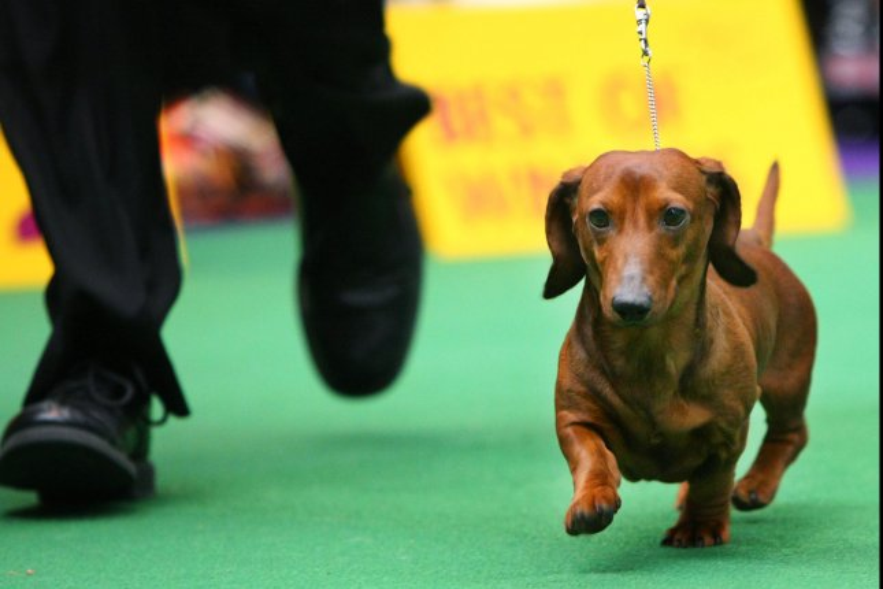 British Womans Dachshund Puppy Wins Dog Clone Contest