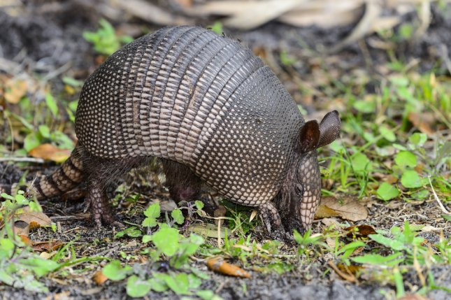 armadillos moving north across