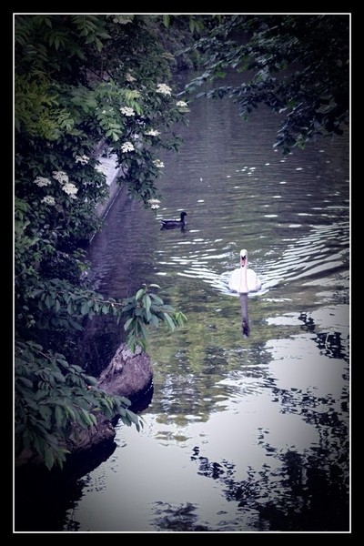 Welkom in Tienen are not only beautiful flowers and trees in Tienen, but there are also beautiful ducks and swans on the water Theo-Herbots-Photography https:- by theoherbots