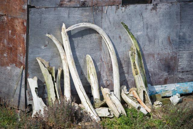 mammoth-clone