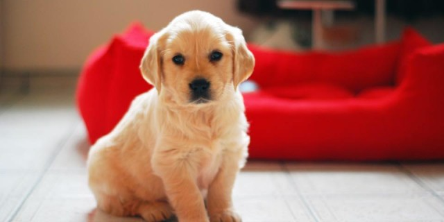 brave pup