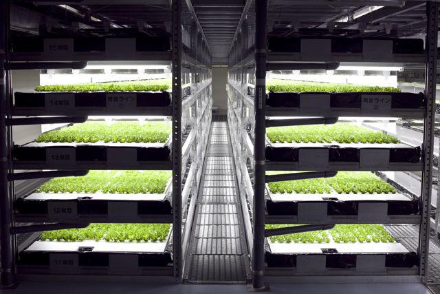 lettuce-harvest