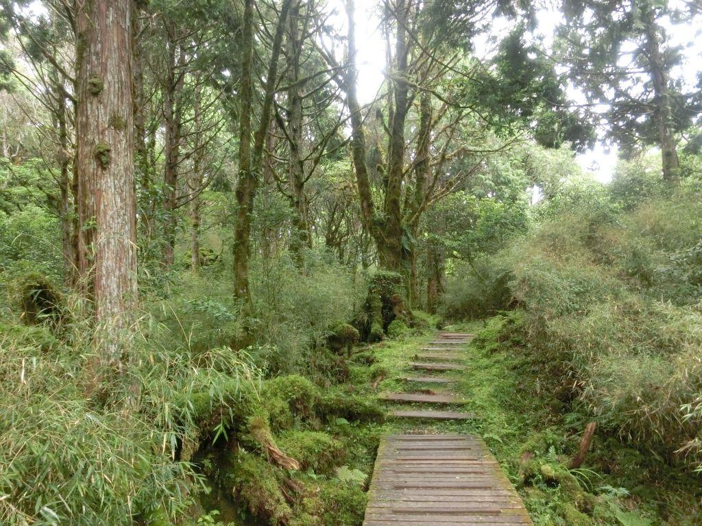 檜木原始林.鐵杉林自然步道 - 健行筆記