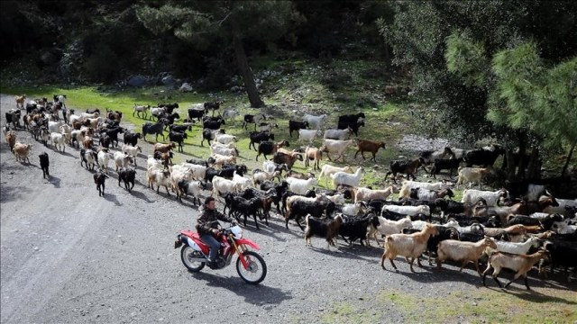 Tech-savvy Turkish shepherd herds goats with drone
