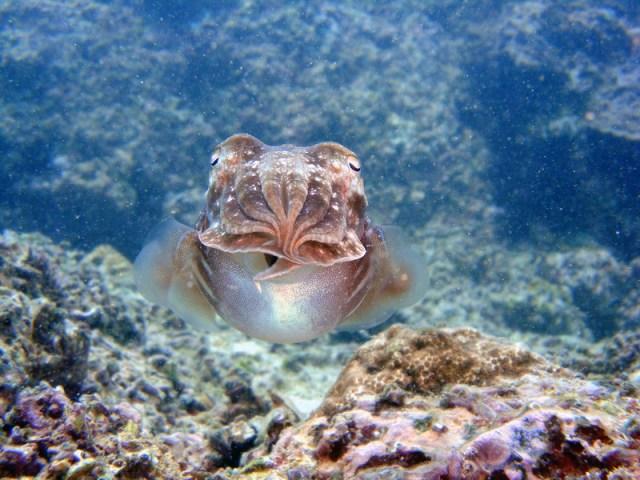 Sepia / Cuttlefish